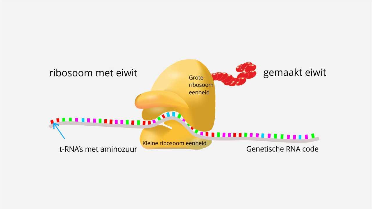 Ribosomen zijn intelligente krachten