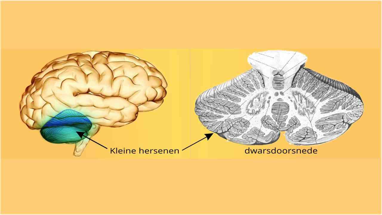 akob Lorber beschrijft hersenen